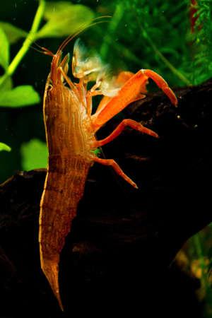 aquarian: Aquarian shrimp Stock Photo