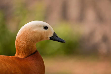 brigth: Roody shelduck from the Moscow Zoo
