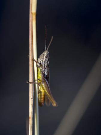 A common grasshopper basking on the sun light in an European Field of the Montseny mountain, near Barcelona, Spain