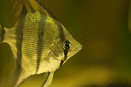 scalare: Pterophyllum scalare, one of the most famous aquarium fish. Widespread over the world, is one of the most common cichlids in the hobby.