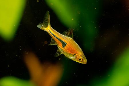 aquascaping: Trigonostigma espei a little rasbora fish from south east asia, very popular in the aquarium hobby around the world Stock Photo