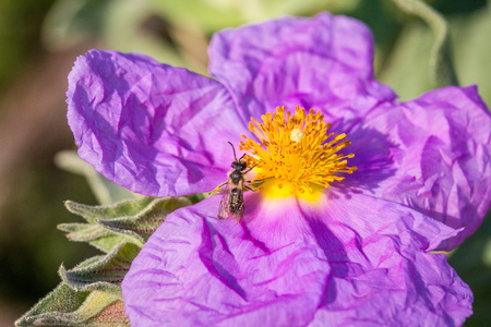 Bee collecting polen and nectar of a rockrose flower on the mediterranean forest