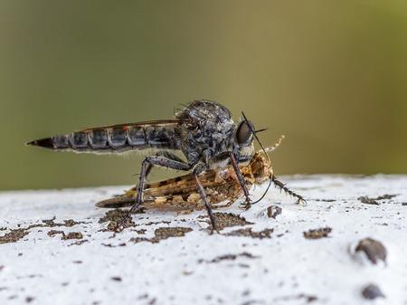 asilidae: A large robberfly Machimus cingulatus preys on a grasshoper in a mediterranean garden of the Maresme region, near Barcelona, Spain.
