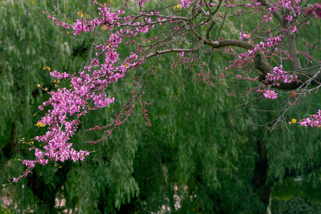 Love tree or Judas Tree, blooming in the spring. This tree is common in Mediterranean countries.