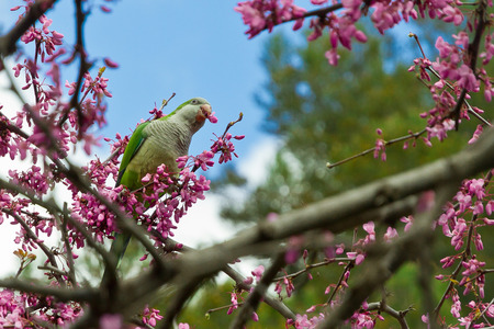 Monk parakeet eating love tree flowers in spring Stock Photo