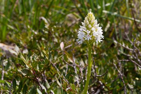 Anacamptis pyramidalis var. alba, the white morfo of this multi flower orchyd from Menorca, Spain