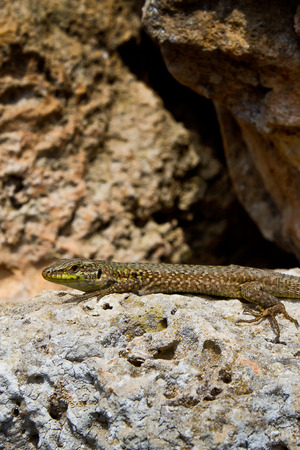 invaded: Podarcis italica, an alien lizard species that invaded the balearic island of Menorca, Spain Stock Photo