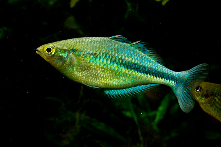 Melanotaenia lacustris female, the tourquoise rainbowfish. One of the beautiest fresh water aquarium fish in the world.