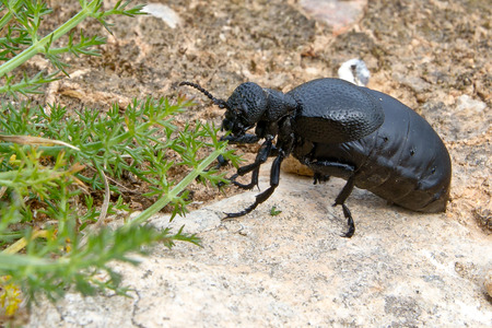 Meloe tuccinus, a big beetle from Menorca island in Spain. This beetles are parasitic to domestic bee honeycombs but doesn't represent a pest. Stok Fotoğraf