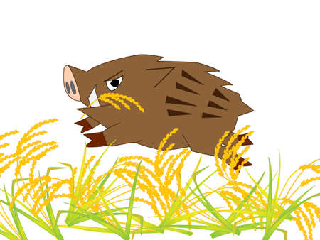 harvesting rice: Wild boar ravaging eat rice Illustration