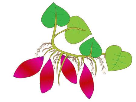 Illustration of the sweet potato