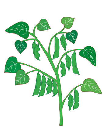 Illustration of soybean Illustration