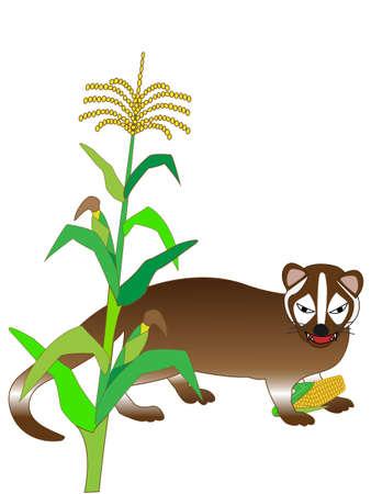The Masked Palm Civet eating corn Illustration
