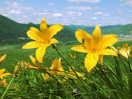 blossom lily  on declivity of the mountain Stock Photo