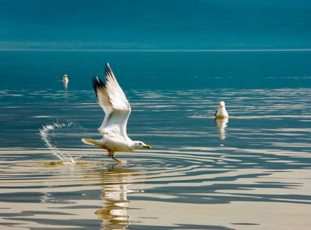 Flight of the seagull above water of lake