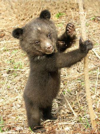 カブ: 動物のリハビリテーション センターでクマの子 写真素材