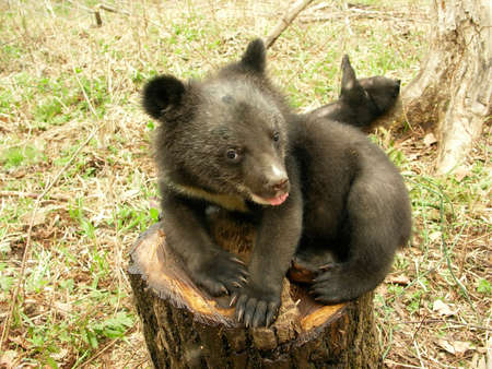 Bear cub in the center of rehabilitation of animals