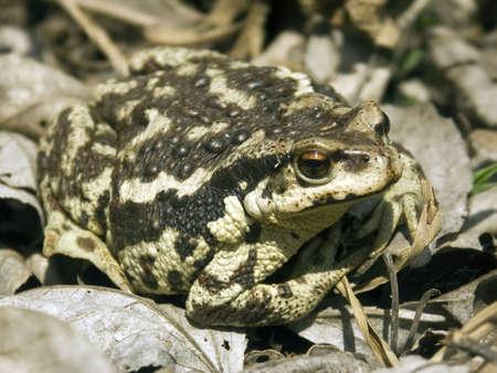 The big Frog frog sits at water Stock Photo