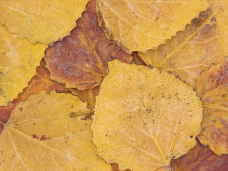 Background from autumn leaves of an aspen of yellow and red colour Stock Photo