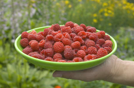 picking ripe raspberries in the home garden Stock Photo - 7495012