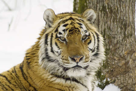 tiger in center of the rehabilitation animal Stock Photo