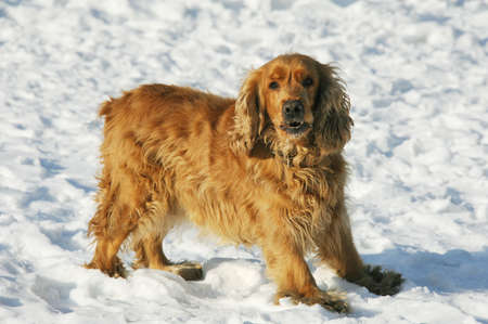 glower: redhead dog to stand on snow and glower Stock Photo
