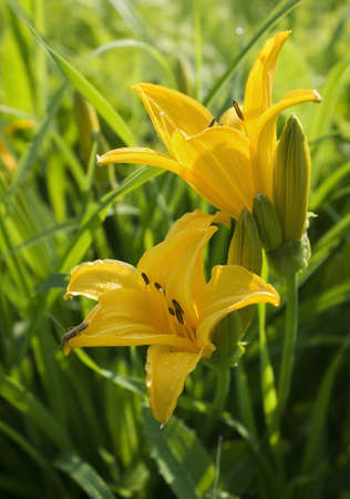 flowers yellow lilies on a background of green grass Stock Photo