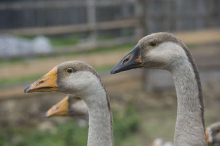 domestic geese walking in the barnyard