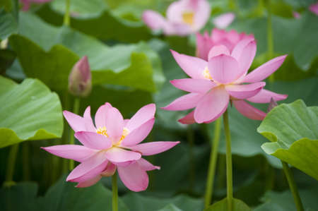 lotus blossoms on the protected forest lake photo