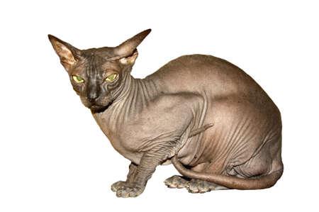 Sphinx cat on white background