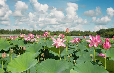lotus blossoms on the protected forest lake