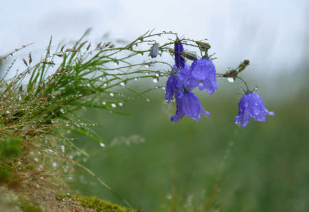 flowers bells covered with dew after rain