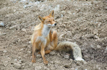 Wild fox in the mountains