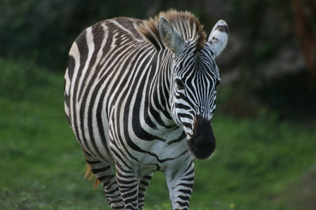 Wild beautiful zebra