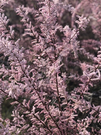 Heather flowers blooming in spring Banque d'images