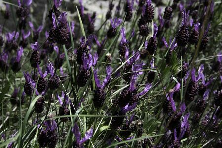 Spanish lavender wild in the mountain