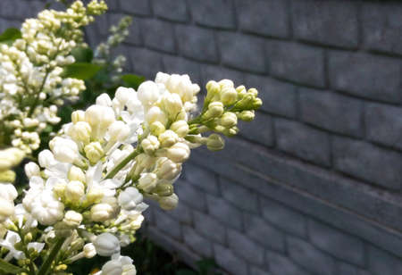 Lilac white blooming against the background of a stone gray wall on a sunny day, blurred background, close-up, spring