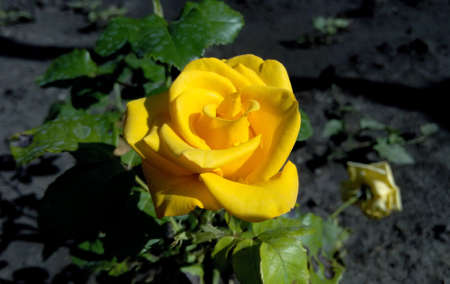 Yellow rose with dew drops on a summer sunny morning sunset