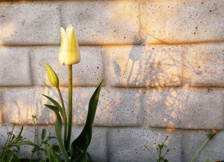 The amazing nature of yellow white tulip blossoming under the sunlight in the middle of a summer or spring landscape. Natural flowers bloom decoration near the wall as a background.