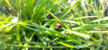 Beetle red blurred background of green grass, close-up, macro photography, wide format Imagens