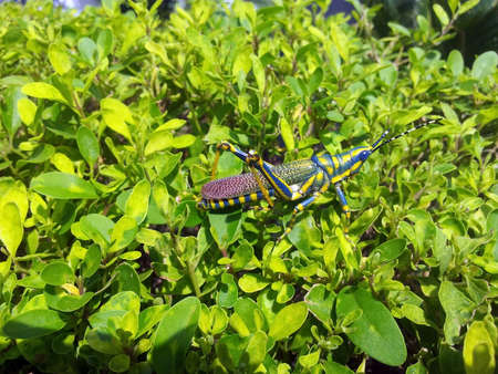 Painted ak grasshopper