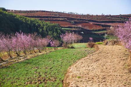 multilevel: Peach alberi in fiore nel giardino a pi� livelli, Tongsuan