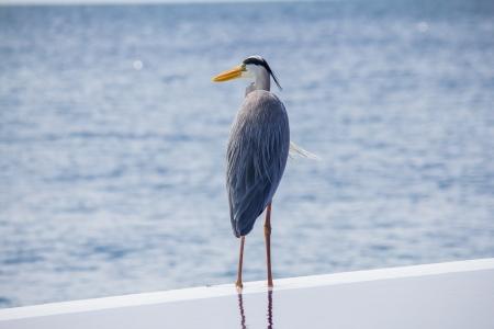 grey heron: Grey heron standing at the rim of the swimming pool