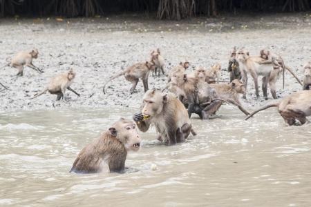 macaque: Le chef du macaque crabier manger la banane