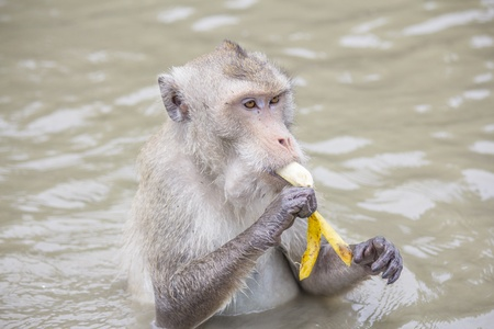 Crab-eating macaque is eating a banana happily photo