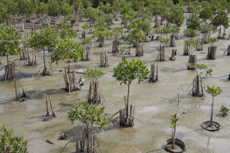 Mangrove young plants in conservation area  photo