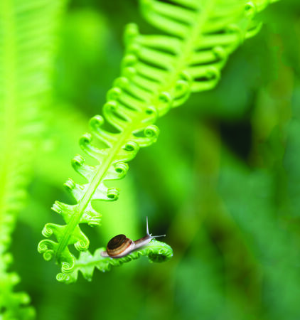 Snail crawling on the young fern  photo