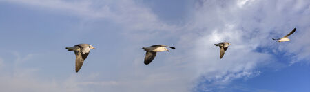 wingspread: Seagulls fly high in the sky