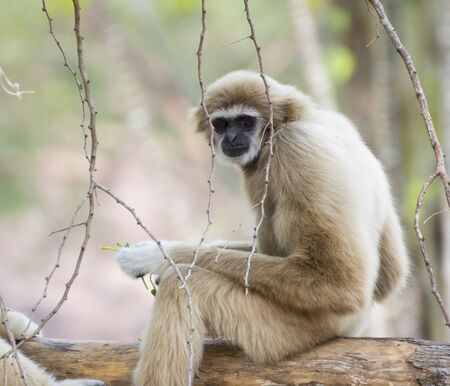 handed gibbon: Lar gibbon sitting and looking around