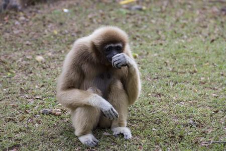 handed: Lar gibbon sitting on the ground